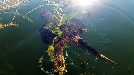 Huge snapping turtle...swam out from under the pier where I was fishing thi...