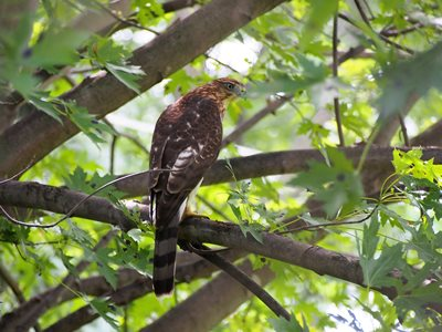 "This guy perched in my tree yesterday afternoon!  ""Cooper's Hawk"" I think....."