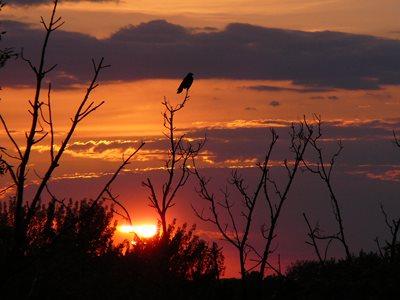 Raven at sunset.