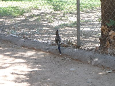 That, is a ROADRUNNER.   Beep. Beep.   Watching humans play Golf.