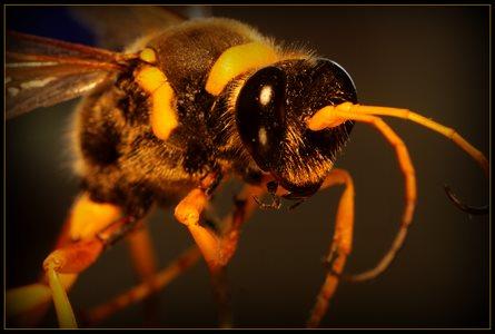 Mudbum Bug