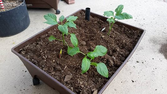 Peppers in one of my self watering  garden beds :)