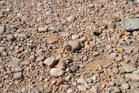 Horney toad, can you spot it?