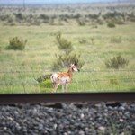 antelope on the prarie