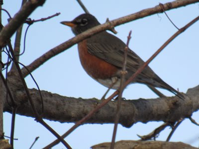 Robins don't always fly south for the winter.