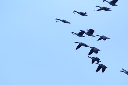 Geese taking flight from the lake.