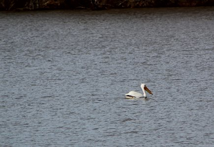 Pelican on the lake looking for dinner
